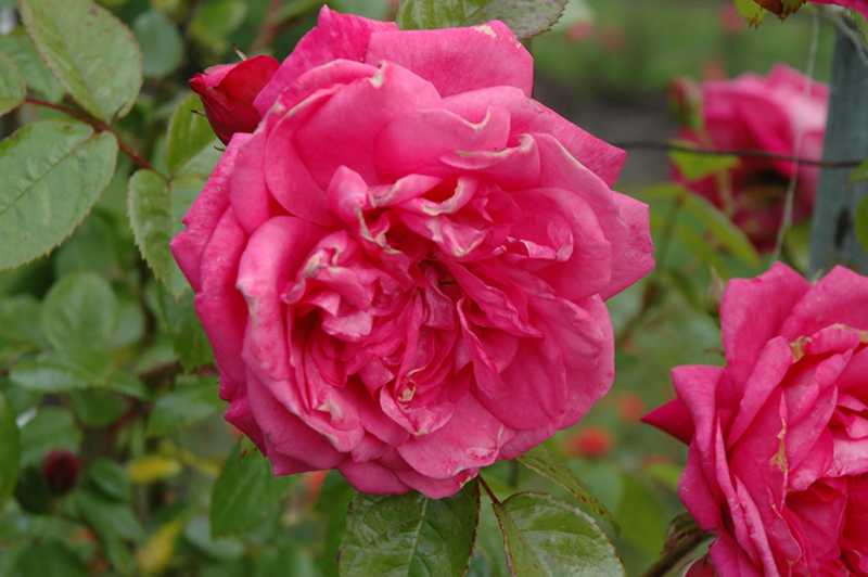 Laguna Rose (Rosa 'KORadigel') at CountryMax Stores