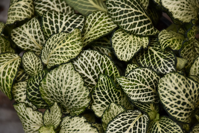 Mosaic Plant (Fittonia albivenis) at CountryMax Stores