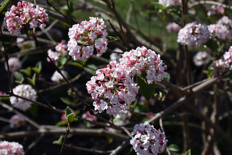 Koreanspice Viburnum (Viburnum carlesii) at CountryMax Stores
