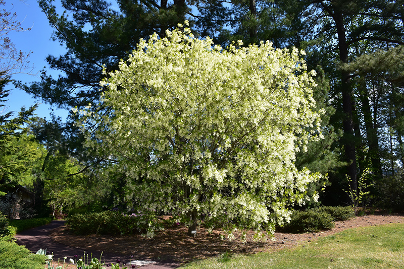 White Fringetree (Chionanthus virginicus) at CountryMax Stores