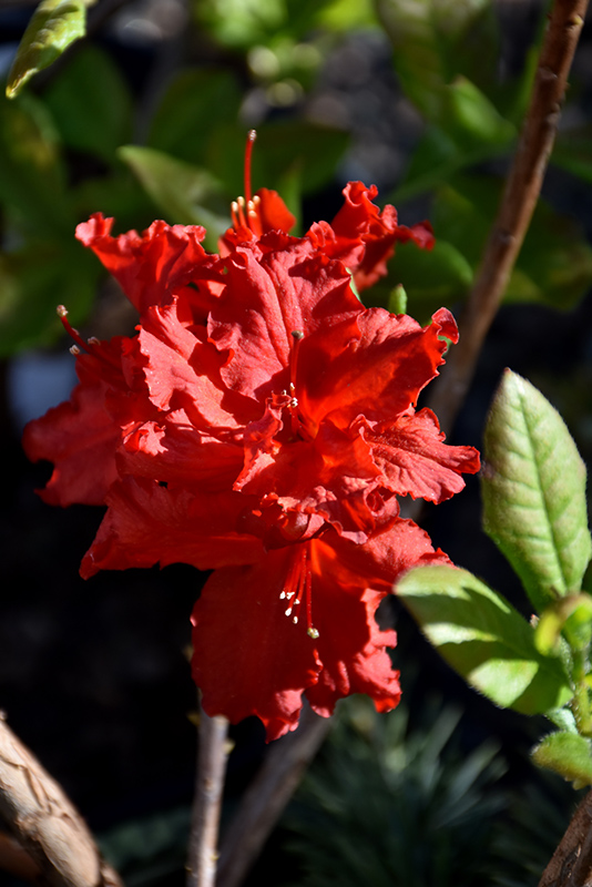 Red Sunset Azalea (Rhododendron 'Red Sunset') at CountryMax Stores
