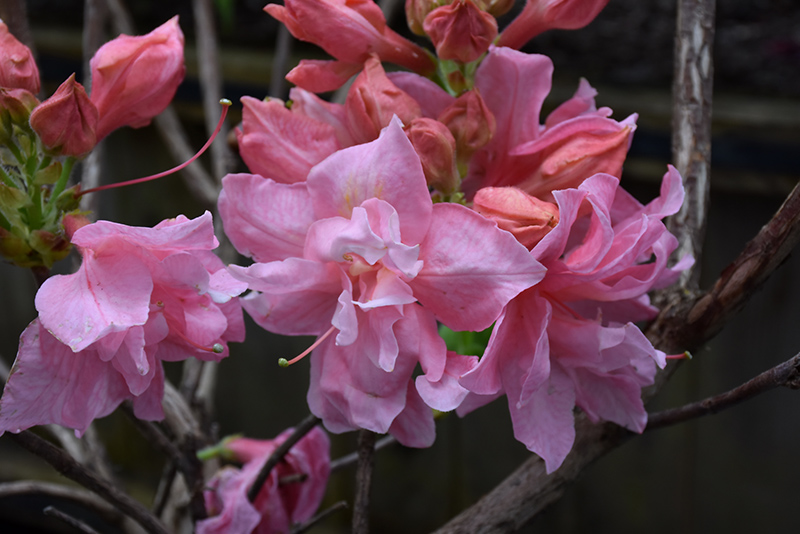 Sunset Pink Azalea (Rhododendron 'Sunset Pink') at CountryMax Stores