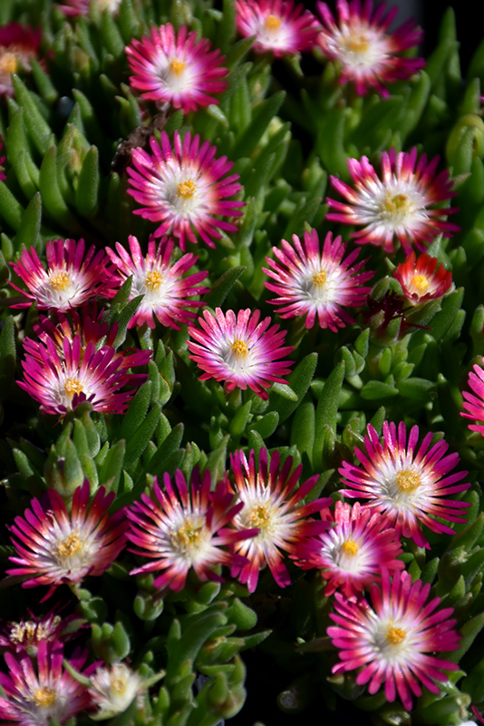 Jewel Of Desert Ruby Ice Plant (Delosperma 'Jewel Of Desert Ruby') at CountryMax Stores