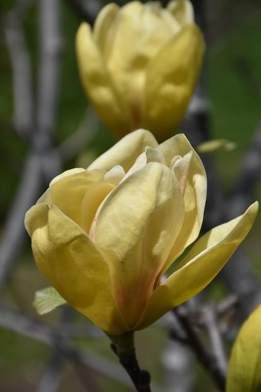 Sunsation Magnolia (Magnolia 'Sunsation') at CountryMax Stores