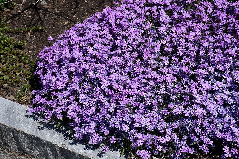 Purple Beauty Moss Phlox (Phlox subulata 'Purple Beauty') at CountryMax Stores
