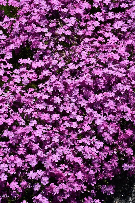 Emerald Pink Moss Phlox (Phlox subulata 'Emerald Pink') at CountryMax Stores