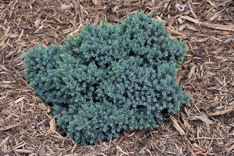 Blue Star Juniper (Juniperus squamata 'Blue Star') at CountryMax Stores