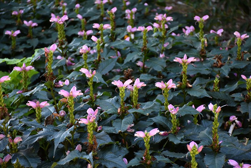 Hot Lips Turtlehead (Chelone lyonii 'Hot Lips') at CountryMax Stores
