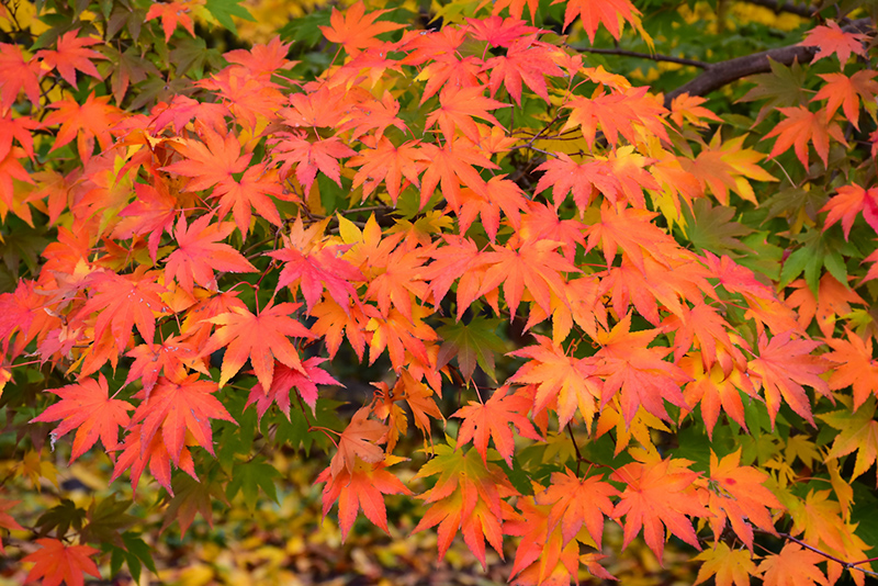 Japanese Maple (Acer palmatum) at CountryMax Stores