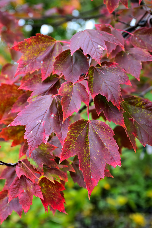 Red Sunset Red Maple (Acer rubrum 'Franksred') at CountryMax Stores