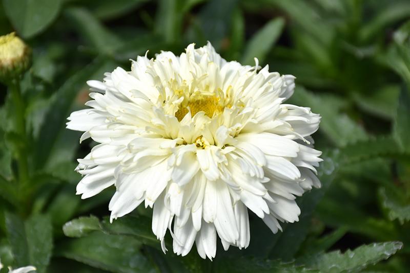 Macaroon Shasta Daisy (Leucanthemum x superbum 'Macaroon') at CountryMax Stores