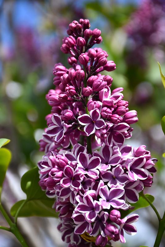 Sensation Lilac (Syringa vulgaris 'Sensation') at CountryMax Stores