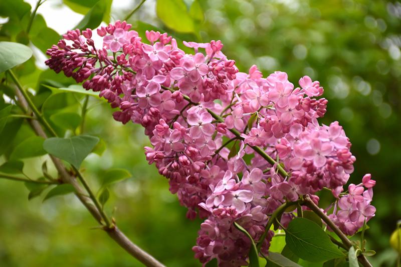 Maiden's Blush Lilac (Syringa x hyacinthiflora 'Maiden's Blush') at CountryMax Stores