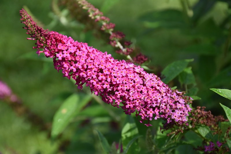 Miss Molly Butterfly Bush (Buddleia 'Miss Molly') at CountryMax Stores