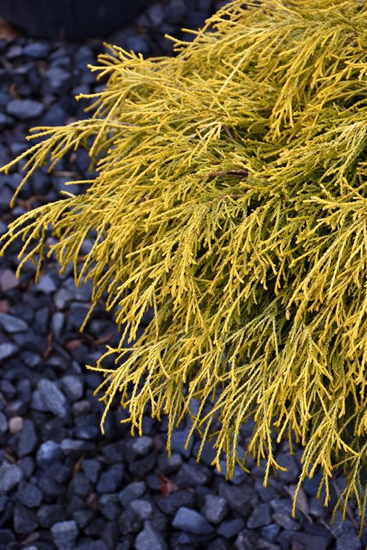 Golden Charm Falsecypress (Chamaecyparis pisifera 'Golden Charm') at CountryMax Stores