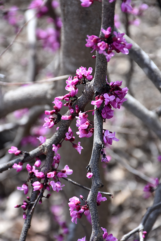 Ruby Falls Redbud (Cercis canadensis 'Ruby Falls') at CountryMax Stores