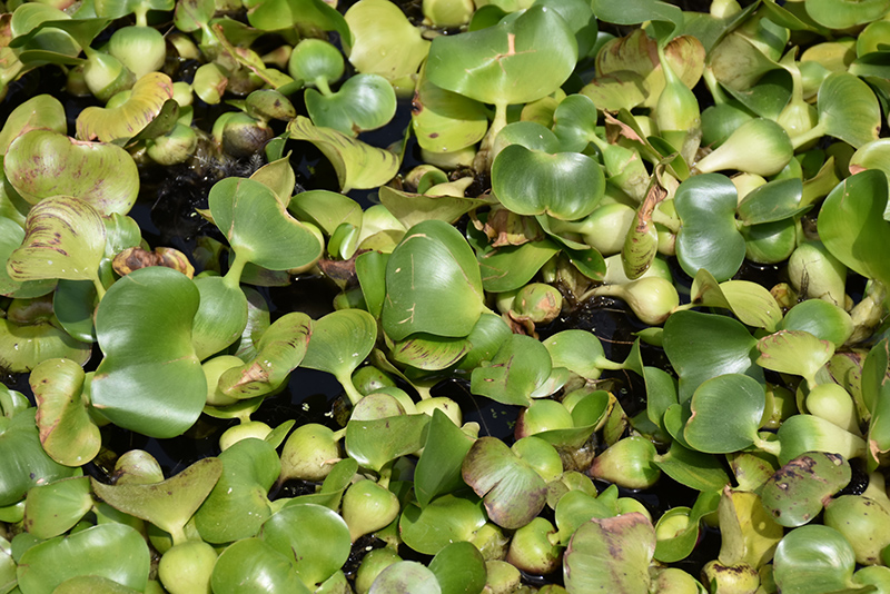 Water Hyacinth (Eichhornia crassipes) at CountryMax Stores