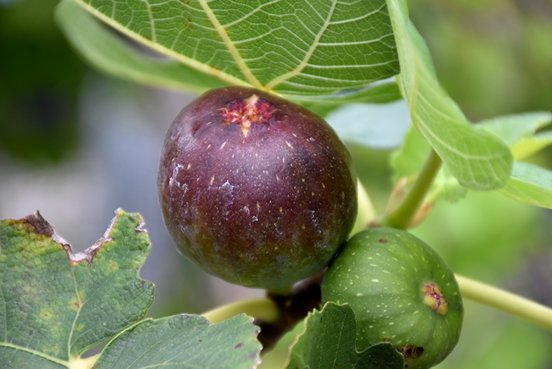 Brown Turkey Fig (Ficus carica 'Brown Turkey') at CountryMax Stores