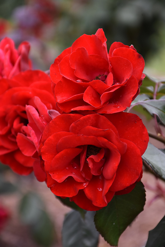 Europeana Rose (Rosa 'Europeana') at CountryMax Stores
