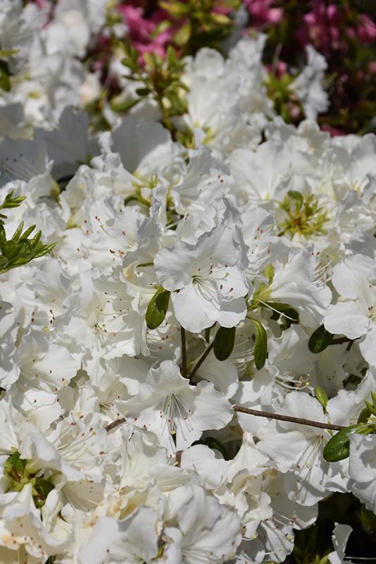Girard's Pleasant White Azalea (Rhododendron 'Girard's Pleasant White') at CountryMax Stores