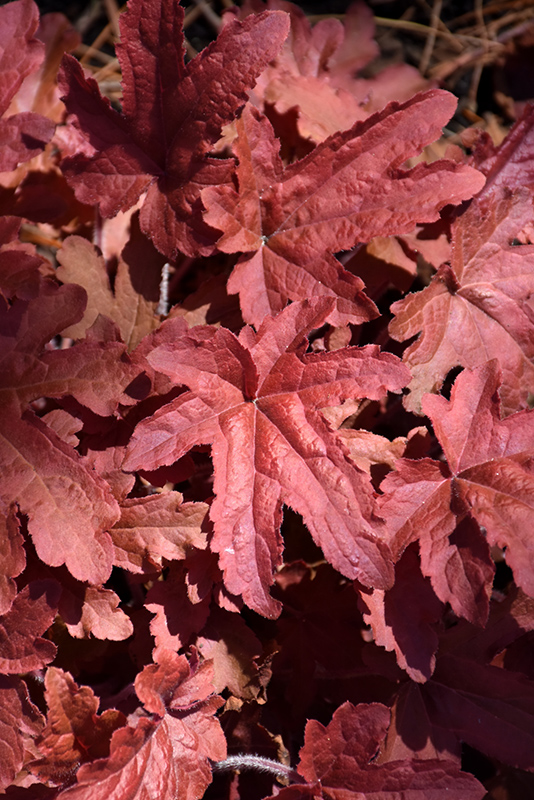 Fun and Games Red Rover Foamy Bells (Heucherella 'Red Rover') at CountryMax Stores
