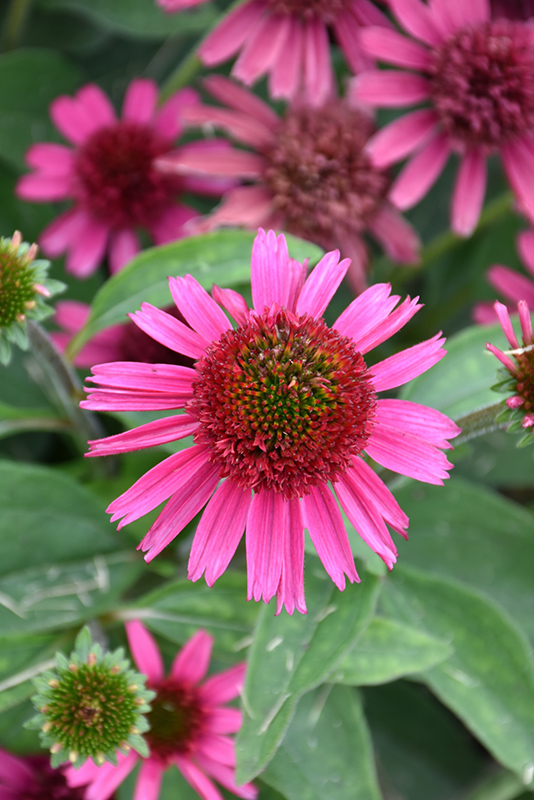 Delicious Candy Coneflower (Echinacea 'Delicious Candy') at CountryMax Stores