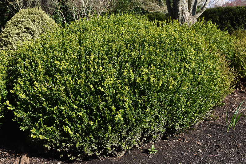 Green Beauty Boxwood (Buxus 'Green Beauty') at CountryMax Stores