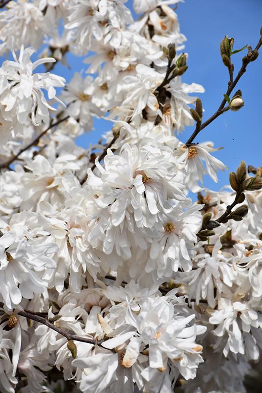 Royal Star Magnolia (Magnolia stellata 'Royal Star') at CountryMax Stores