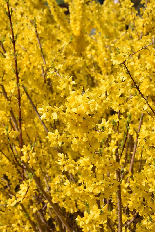 Magical Gold Forsythia (Forsythia x intermedia 'Kolgold') at CountryMax Stores
