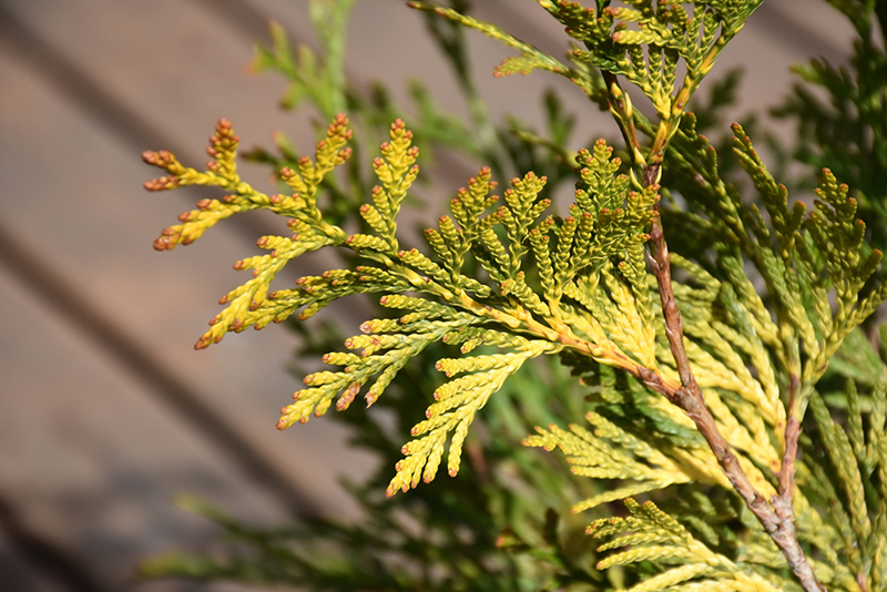 Ember Waves Western Arborvitae (Thuja 'MonPin') at CountryMax Stores