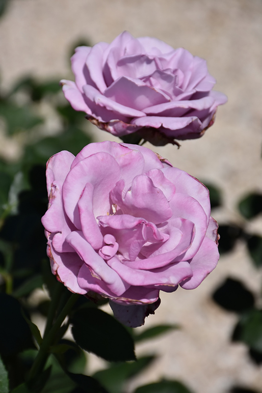 Blue Girl Rose (Rosa 'Blue Girl') at CountryMax Stores