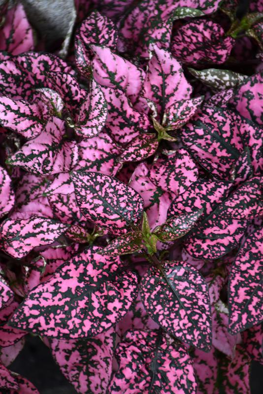 Splash Select Pink Polka Dot Plant (Hypoestes phyllostachya 'Splash Select Pink') at CountryMax Stores