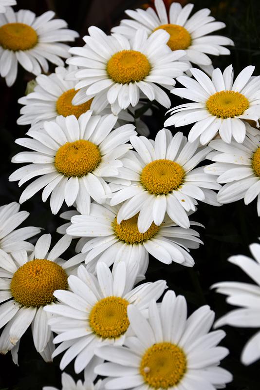 Snowcap Shasta Daisy (Leucanthemum x superbum 'Snowcap') at CountryMax Stores