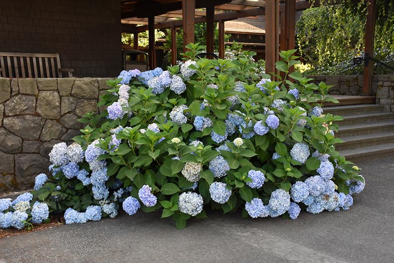 Blue Enchantress Hydrangea (Hydrangea macrophylla 'Monmar') at CountryMax Stores