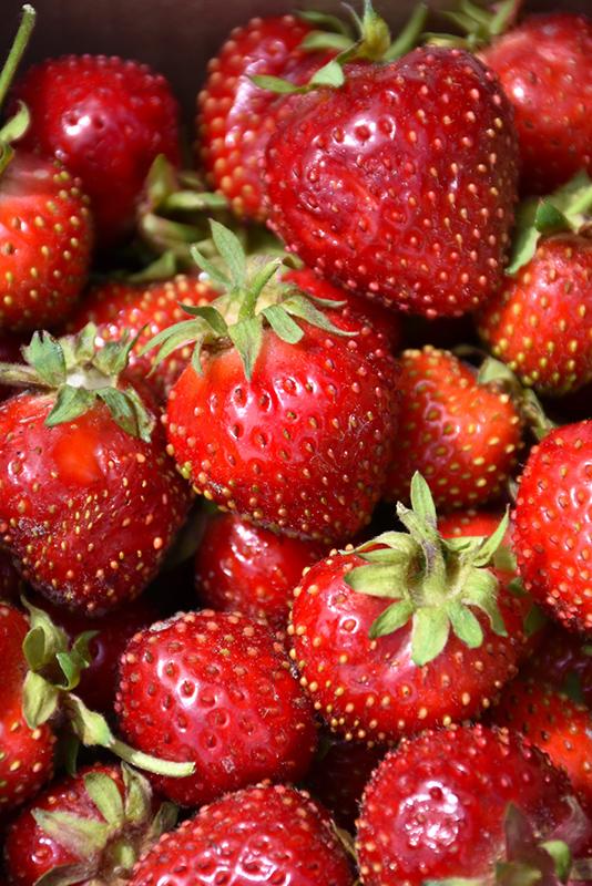 Honeoye Strawberry (Fragaria 'Honeoye') at CountryMax Stores