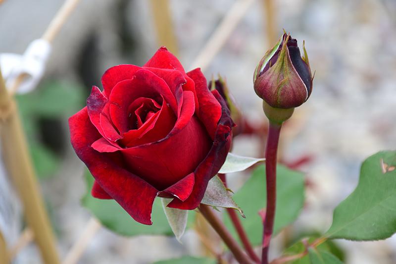 Don Juan Rose (Rosa 'Don Juan') at CountryMax Stores