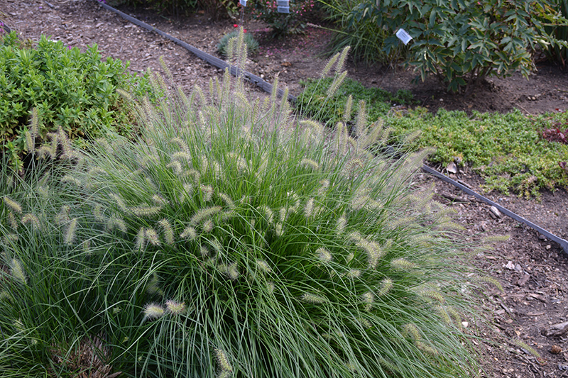 Little Bunny Dwarf Fountain Grass (Pennisetum alopecuroides 'Little Bunny') at CountryMax Stores