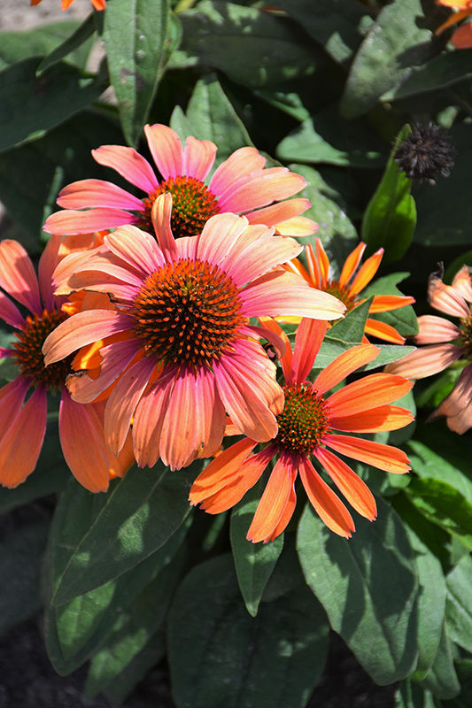 Color Coded Orange You Awesome Coneflower (Echinacea 'Orange You Awesome') at CountryMax Stores