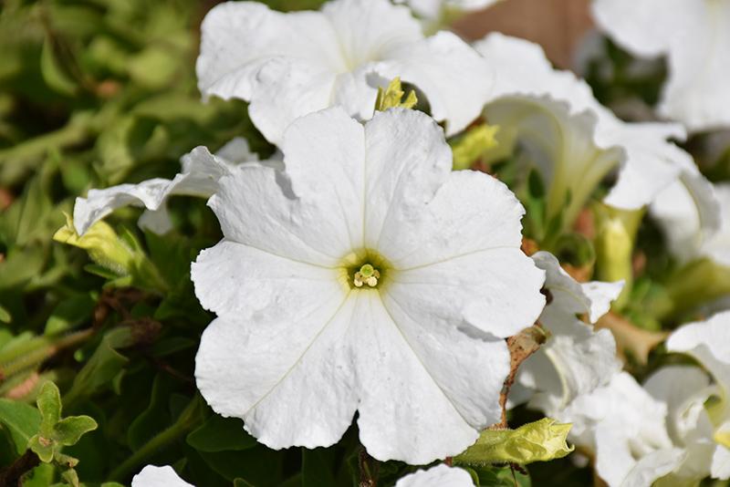 Pretty Grand White Petunia (Petunia 'Pretty Grand White') at CountryMax Stores